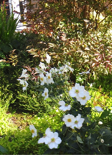 white Japanese anemones...the best, maybe Honorine Jobert