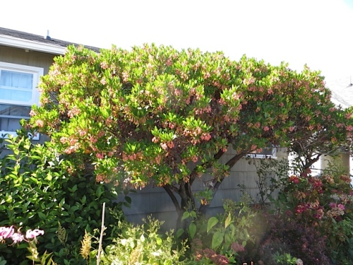 The arbutus is gorgeous in full bloom.