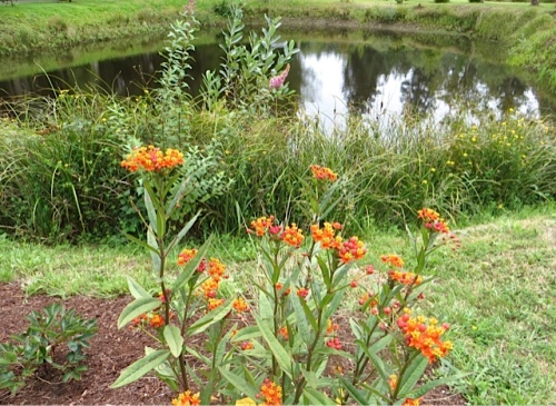 Asclepias by the pond