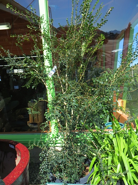 Very cool tree, Azara microphylla, for sale.