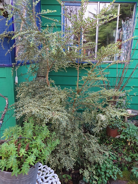 a pause to admire Azara microphylla variegata by the front porch