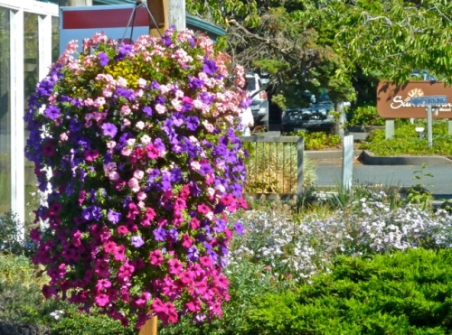 "Allan's photo: hanging basket ""almost as nice as Long Beach's"" along the way"