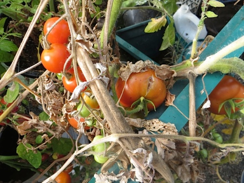 Only the cherry tomatoes are successful; the big ones keep splitting.