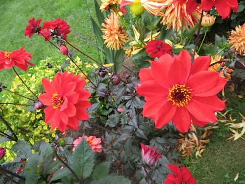 the renowned dahlia 'Bishop of Llandalf'
