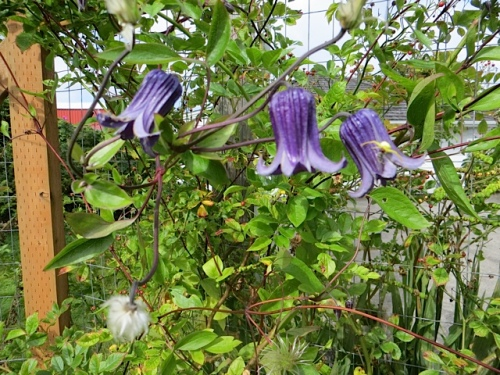 Clematis 'Rooguchi' in the back garden (with a white spider)