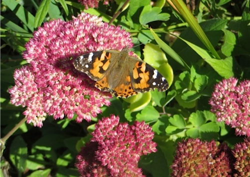 Monarch butterflies in the garden there liked the Sedum 'Autumn Joy' better than anything.