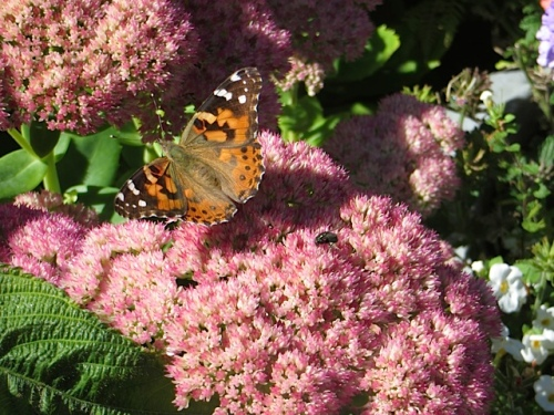 Here, too, were butterflies on the Autumn Joy.