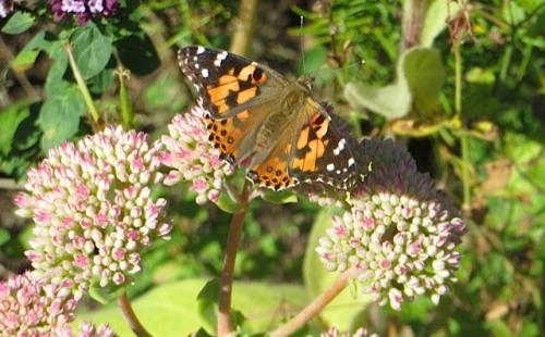 At Wiegardt Gallery, more butterflies on more Sedum 'Autumn Joy'