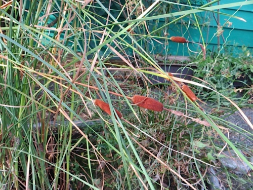 and succeeded in breaking some cattails in one of my water gardens.