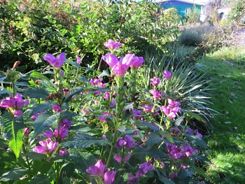 Chelone (pink turtlehead)