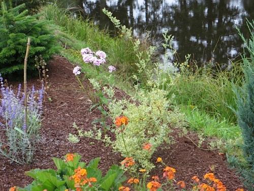 Coronilla valentina variegata
