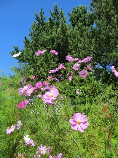 on the right, tall cosmos in raised garden