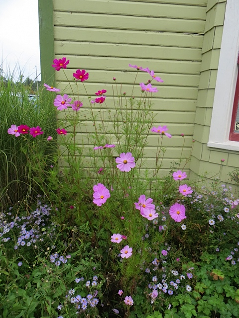 front garden, cosmos underlaid with the very determined Bad Aster.