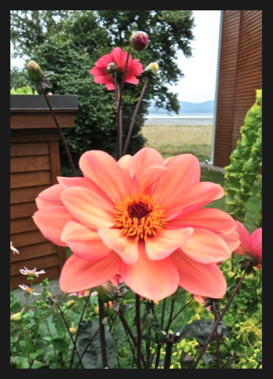 dahlia with a glimpse of Willapa Bay