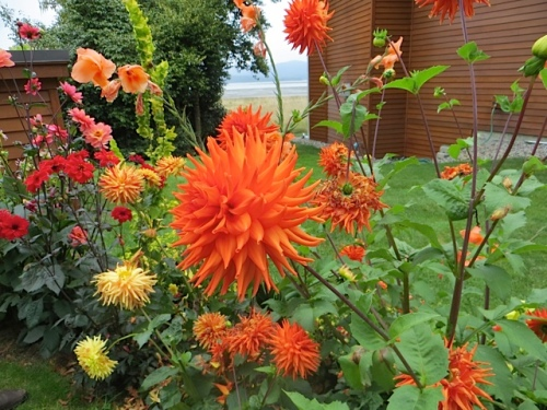 ...to the patch of dahlias by the kitchen garden.