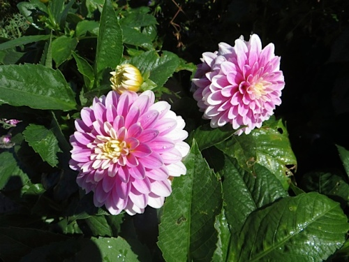 note to self: more patio dahlias next year