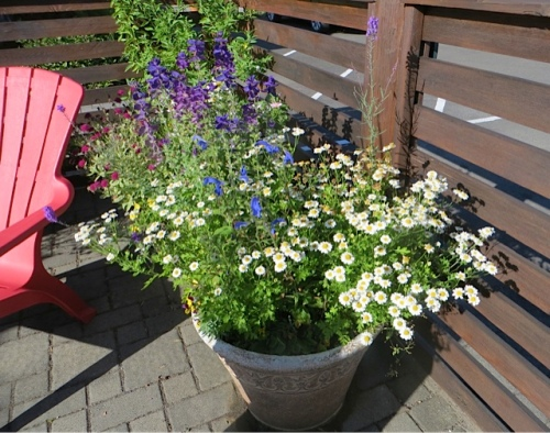 Some volunteer feverfew make this pot look fresh.