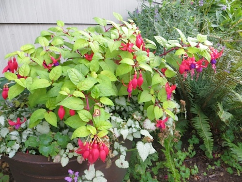 Fuchsia 'Golden Gate' (I think)