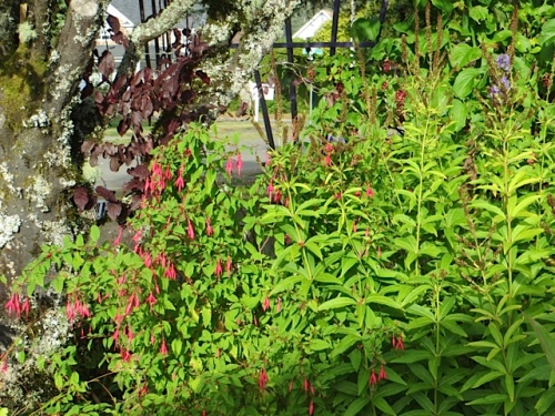Hardy fuchsia magellanica