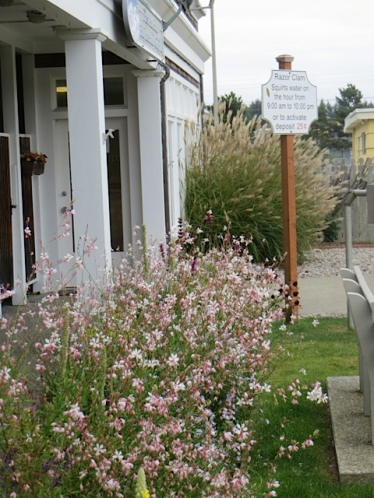 across the street kitty corner in the NE quadrant of Fifth Street Park:  Gaura 'Whirling Butterflies' steals the show.