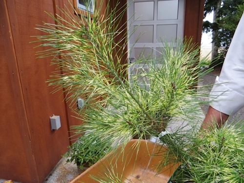 Pinus densiflora 'Golden Ghost', stunning