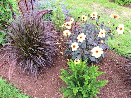 red fountain grass, a dahlia, and a dwarf conifer that looks like a fern