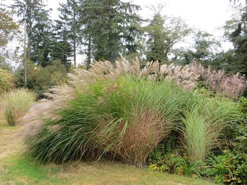 a Miscanthus beginning to take its autumn bow.
