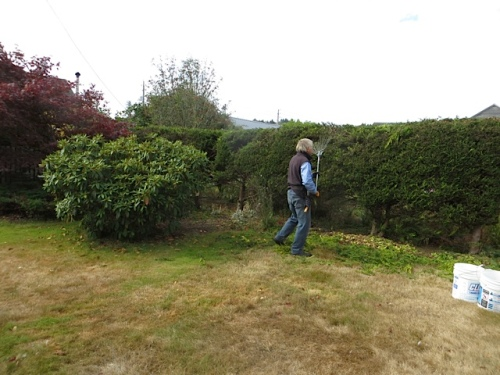 Allan raking out the hedge clippings
