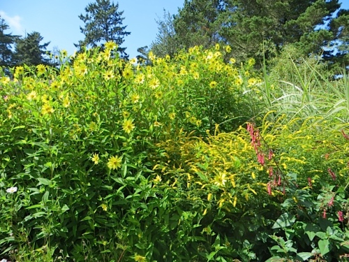 Helianthus 'Lemon Queen' and Solidago 'Fireworks' and Phygelius