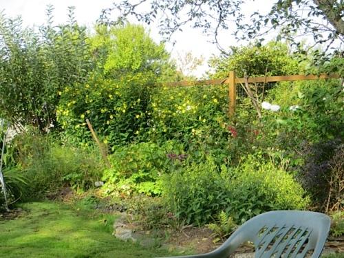 Helianthus 'Lemon Queen' on the east fence