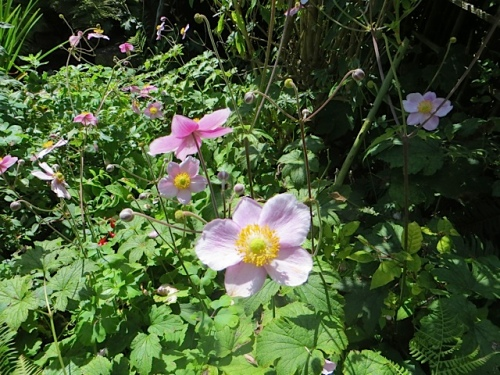 Japanese anemone...a thug, but useful now.