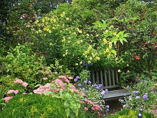 the garden bench backed with Helianthus 'Lemon Queen' and Tetrapanax papyrifer 'Steroidal Giant'