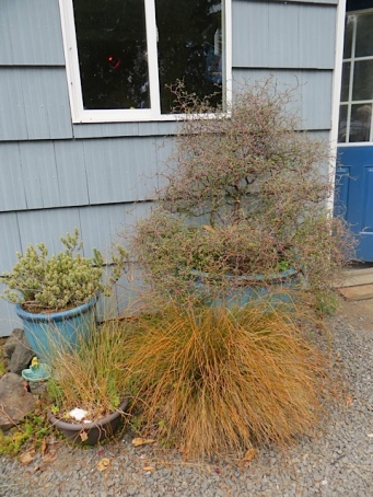 The Corokia cotoneaster has happily lived in the big blue pot for years.