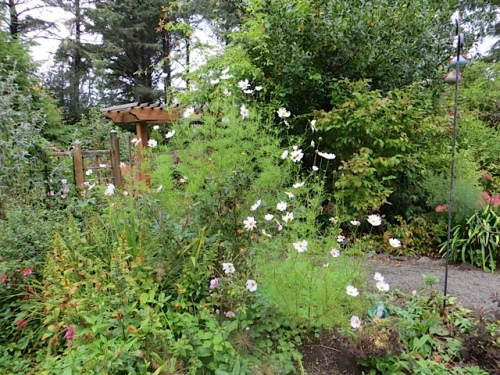 cosmos as tall as the arbour
