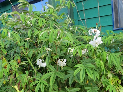 white lilies and Rubus lineatus