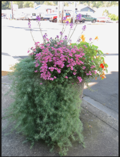 This planter in almost full shade on Spruce Street is doing remarkably well.
