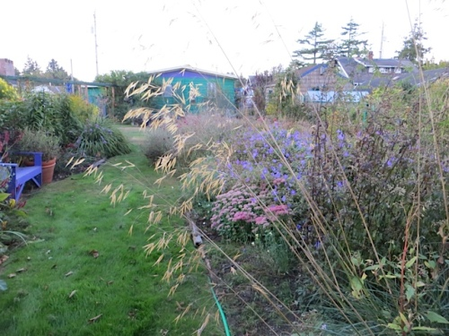 Stipa gigantea, my favourite grass.