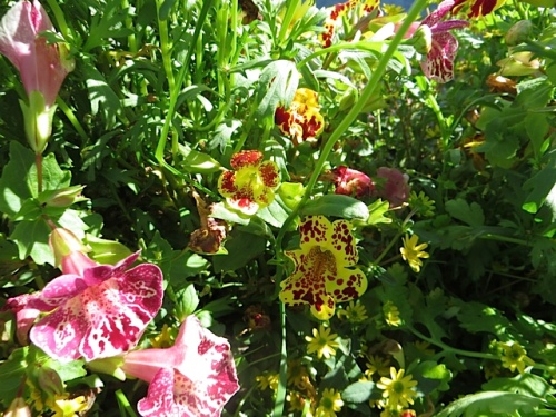 more mimulus; it was a mixed batch so we could not make it all yellow.