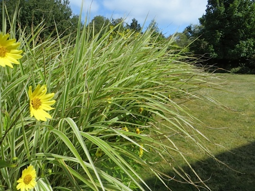 Miscanthus sinensis variegatus and Helianthus 'Lemon Queen'
