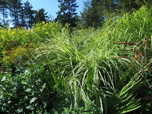 The Miscanthus vareigatus has flopped here.  The deer bed down behind it, I think.