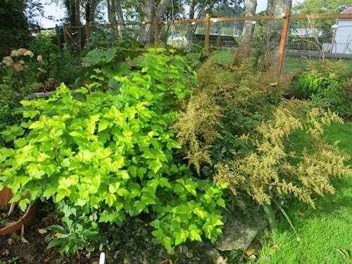 Physocarpus (probably 'Dart's Gold') and an astilbe