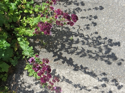 on the entry walk, oregano and its shadow