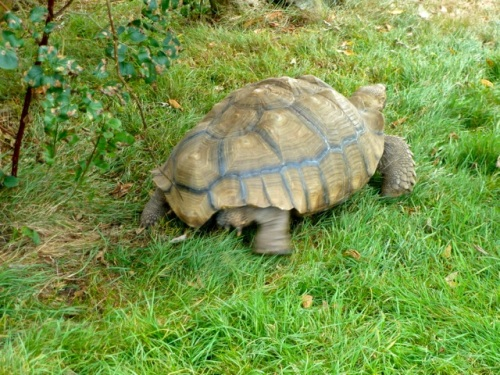 The tortoise moved very fast when it decided to return to the back yard.