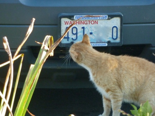 Parking Lot Cat was too interested in this vehicle's bumper to greet us.