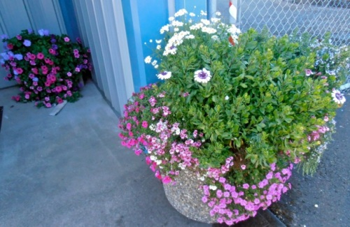 The planter at the Peninsula Sanitation office has excellent trailing plants this year.