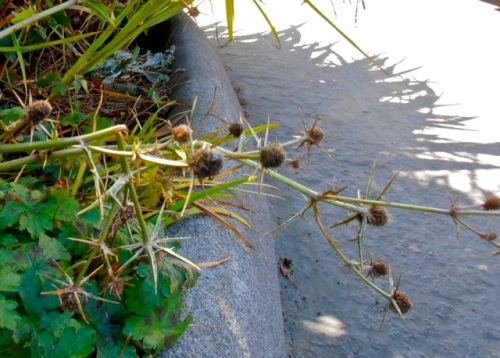 Allan's photo/caption:  Outside Rocket Diner (south end of the LB Pharmacy) an eryngium took a hit.