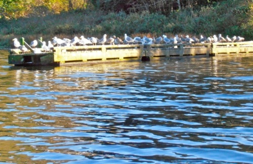 The dock by the highway turn off was a gull hangout.