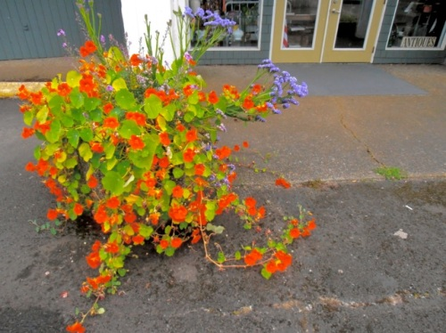 the planter by Larry's Antique Gallery Too! with vigorous nasturtium