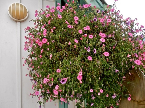 Allan's photo:  a very dry hanging basket before it got watered by city crew with 75 foot hose.
