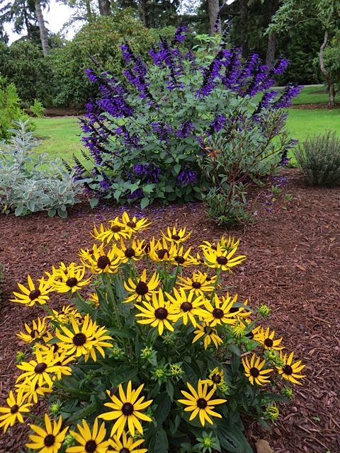 Rudbeckia fulgida var. sullivantii 'Little Goldstar' backed with Salvia guaranitica
